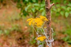 Abejas que polinizan las flores amarillas del país Fotografía de archivo libre de regalías