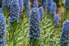 Abejas que polinizan las flores azules exóticas en macizo de flores en el jardín Fotografía de archivo