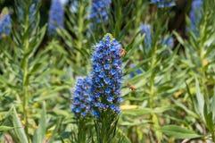 Abejas que polinizan las flores azules exóticas en macizo de flores en el jardín Imagenes de archivo