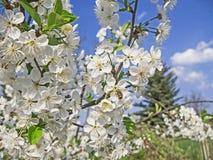 Abejas que polinizan las flores de cerezo en la huerta Fotos de archivo