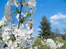 Abejas que polinizan las flores de cerezo en la huerta Imagen de archivo libre de regalías