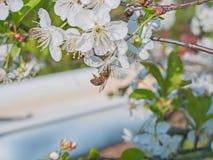 Abejas que polinizan las flores de cerezo en la huerta Fotografía de archivo libre de regalías