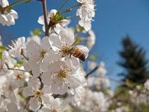 Abejas que polinizan las flores de cerezo en la huerta Imágenes de archivo libres de regalías