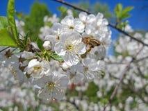 Abejas que polinizan las flores de cerezo en la huerta Fotografía de archivo