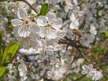 Abejas que polinizan las flores de cerezo en la huerta Imagenes de archivo