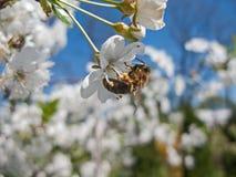 Abejas que polinizan las flores de cerezo en la huerta Imagen de archivo