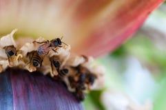 Abejas que polinizan una flor del plátano Fotos de archivo libres de regalías