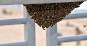 Abejas que pululan alrededor de la abeja reina debajo de un banco foto de archivo libre de regalías