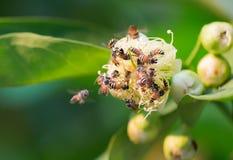 Abejas que recogen el néctar de la flor de la manzana color de rosa Fotografía de archivo libre de regalías