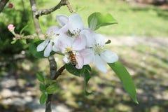 Abejas que recogen el néctar de la floración en manzanos Fotos de archivo libres de regalías