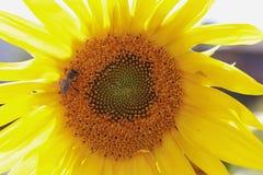 Abejas que recogen el néctar en el girasol Primer Fotos de archivo libres de regalías