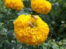 Abejas que recogen el néctar en una flor amarilla floreciente de la maravilla Fotos de archivo