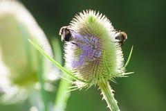 Abejas que recogen el polen Imagen de archivo libre de regalías