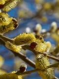 Abejas que recogen el polen en amentos amarillos Foto de archivo