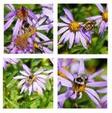 Abejas que recogen el polen en aster alpino Imagen de archivo