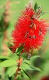 Abejas que recogen la miel en la flor roja, primer Imagenes de archivo