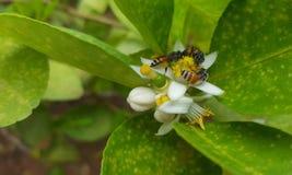 Abejas que recolectan el néctar Imagen de archivo libre de regalías