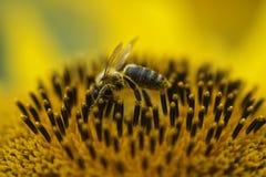 Abejas que recolectan el polen Imágenes de archivo libres de regalías