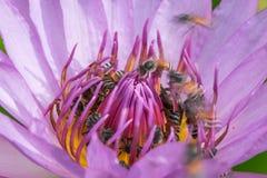Abejas que recolectan el polen adentro waterlily Foto de archivo libre de regalías