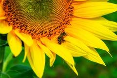 Abejas que recolectan el polen del girasol Foto de archivo libre de regalías