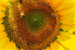 Abejas que recolectan el polen del girasol Imagen de archivo