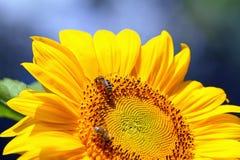 Abejas que se sientan en el girasol amarillo Imagen de archivo