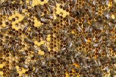 Abejas que se sientan en sitios con las larvas y la miel que se han preparado Fotos de archivo