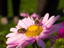 Abejas que se sientan en una flor Imágenes de archivo libres de regalías