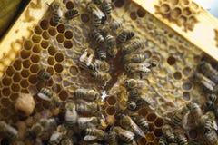 Abejas que toman el cuidado de la abeja-larva Imagen de archivo