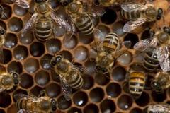 Abejas que toman el cuidado de la abeja-larva Fotos de archivo libres de regalías