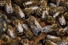 Abejas que toman el cuidado de la abeja-larva Fotografía de archivo