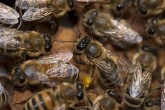 Abejas que toman el cuidado de la abeja-larva Imagenes de archivo