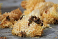 Abejas que trabajan en las células de la miel Fotografía de archivo libre de regalías