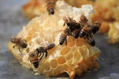 Abejas que trabajan en las células de la miel Foto de archivo