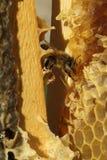 Abejas, que vienen a partir del invierno crudo Imagen de archivo