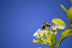 Abejas que vuelan alrededor de las flores Imágenes de archivo libres de regalías