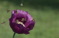 Abejas que vuelan en la flor de la amapola Imagen de archivo libre de regalías