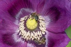 Abejas que vuelan en la flor de la amapola Foto de archivo libre de regalías