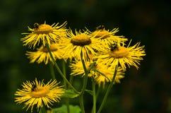 Abejas que vuelan sobre las flores amarillas mientras que recoge el polen Imagen de archivo