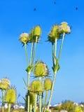 Abejas que vuelan sobre las flores del cardo Imagen de archivo libre de regalías