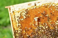Abejas reinas célula y abejas en el panal Foto de archivo libre de regalías