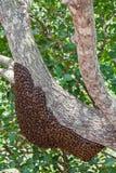 Abejas salvajes en Sri Lanka Fotografía de archivo