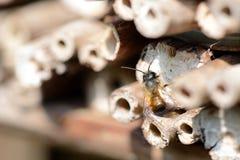 Abejas salvajes masculinas que vuelan delante de refugio del insecto Foto de archivo
