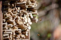 Abejas salvajes masculinas que vuelan delante de refugio del insecto Imagenes de archivo