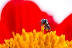 Abejas sin aguijón de una abeja minúscula Imagen de archivo