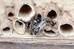 Abejas solitarias salvajes que se acoplan en hotel del insecto en la primavera Fotografía de archivo