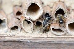 Abejas solitarias salvajes que se acoplan en hotel del insecto en la primavera Fotografía de archivo libre de regalías