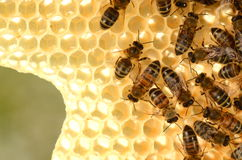 Abejas trabajadoras en el panal en la primavera Imagen de archivo