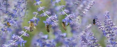 Abejas y abejorro de las donadoras de polen en la lavanda Imagen de archivo libre de regalías