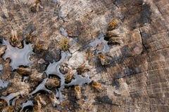Abejas y avispa que pululan en gotas de la miel en backgrou de madera del vintage Foto de archivo libre de regalías